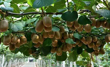 孕妇可以吃猕猴桃吗?孕妇吃猕猴桃的注意事项